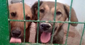 Adopcion perros Hellin 2
