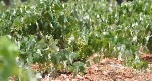La Consejería de Agricultura ha efectuado pagos por reestructuración del viñedo por valor de 4,5 millones
